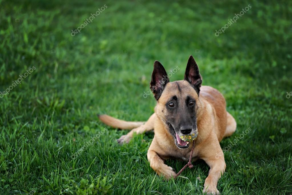 Cute Belgian Shepherd Dog, portrait in summer
