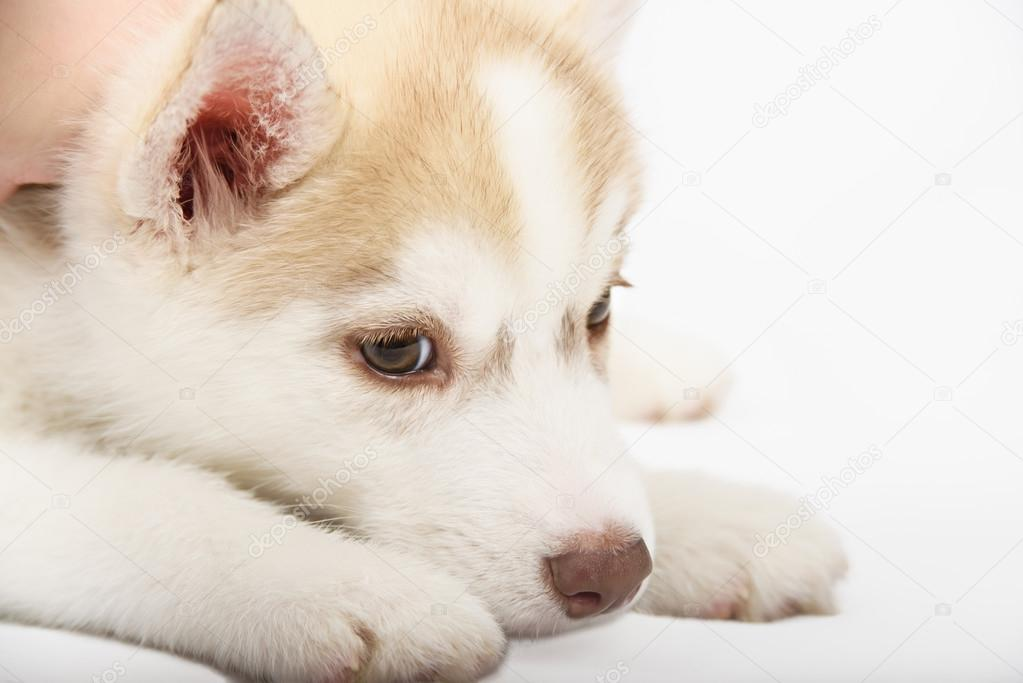 Close Up On Red Eyes Of Cute Siberian Husky Puppy Stock Photo
