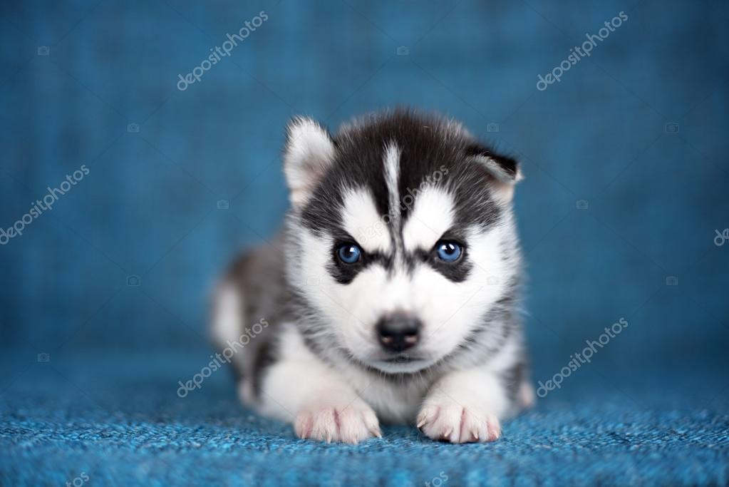 Un bellissimo cucciolo husky con occhi abbastanza blu su sfondo blu foto stock brusnikaphoto - Husky con occhi diversi ...