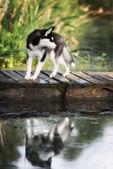 Fotografie Husky steht am Rande eines Sees