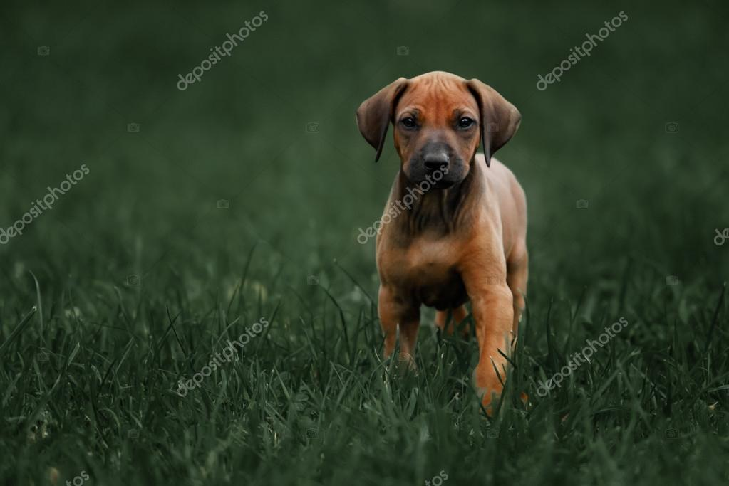 Beautiful Rhodesian Ridgeback Black Adorable Dog - depositphotos_86624572-stock-photo-adorable-little-rhodesian-ridgeback-puppies  Pic_307226  .jpg