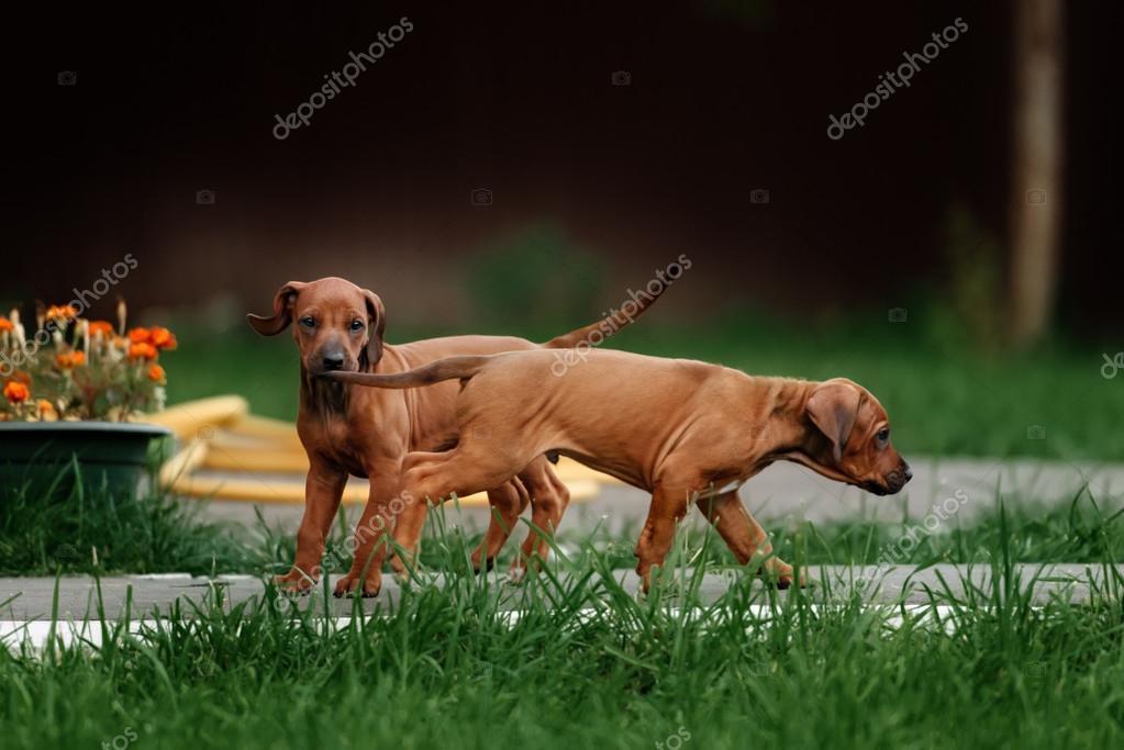Top Rhodesian Ridgeback Brown Adorable Dog - depositphotos_86624748-stock-photo-adorable-little-rhodesian-ridgeback-puppies  2018_396660  .jpg