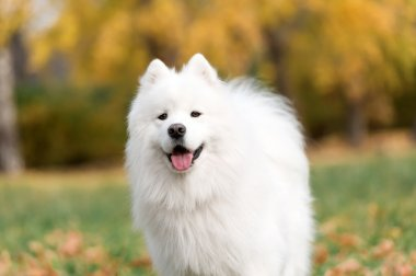 Smiling happy Samoyed dog
