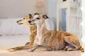 Kis angol agár-kutya portré