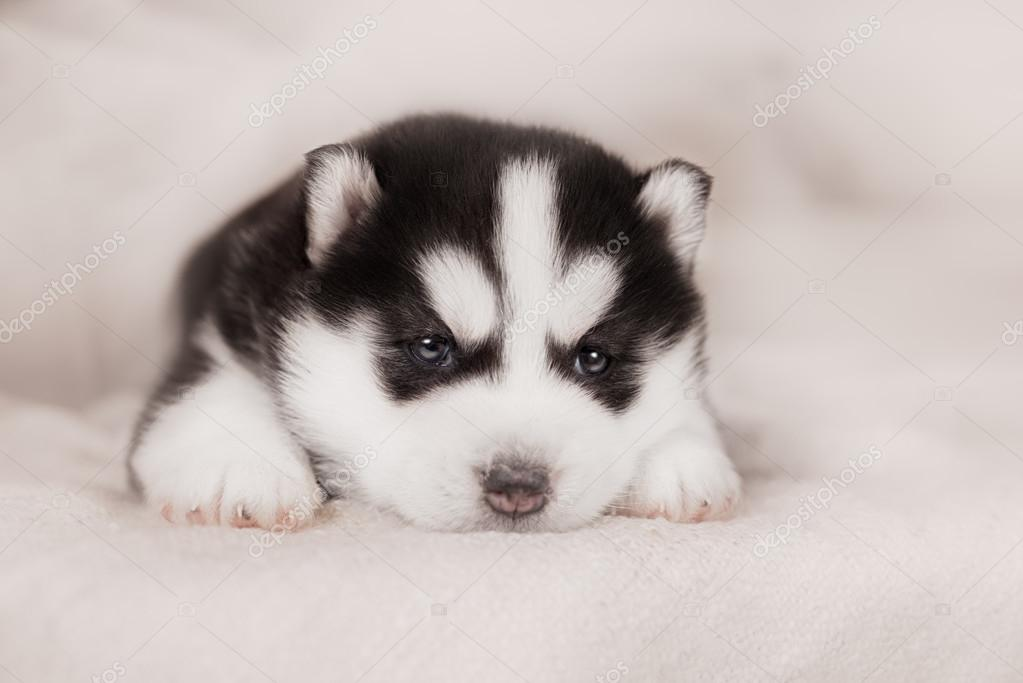 Cute Siberian Husky Puppy Stock Photo C Brusnikaphoto 90077230