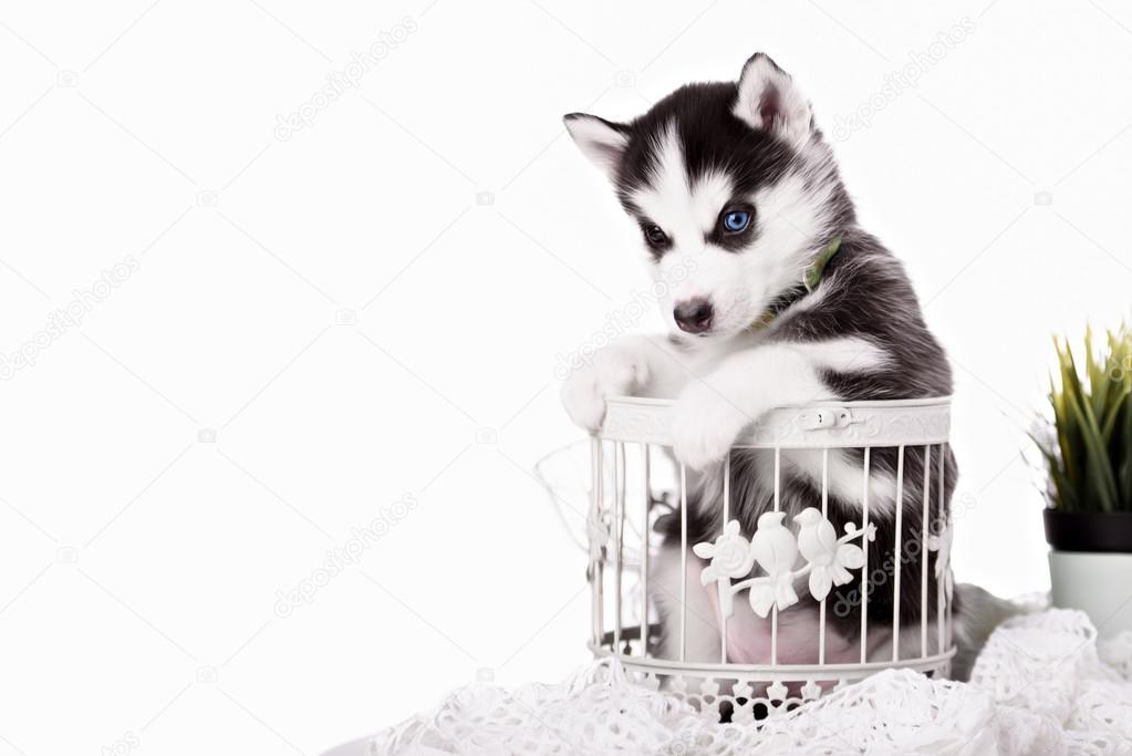 Adorabile bianco e nero con cucciolo husky occhi azzurri foto stock brusnikaphoto 90287480 - Husky con occhi diversi ...