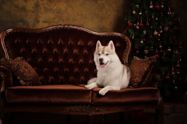 Dog breed siberian husky, portrait dog on a studio color background, Christmas and New Year.
