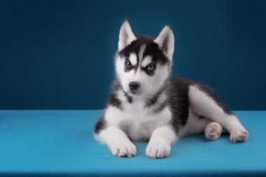 Charming puppy Husky with blue eyes stares into the camera and play