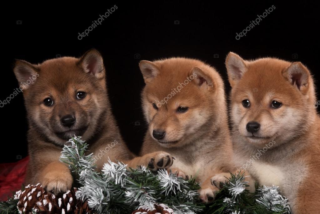 Drei kleine und niedliche Welpen in Weihnachten Studio — Stockfoto ...