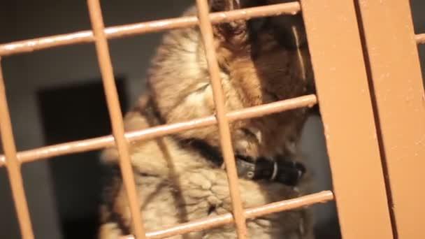 Pastevecký pes štěká v buňce. Pes v kleci. Útulek pro psy. Voliéra se psem