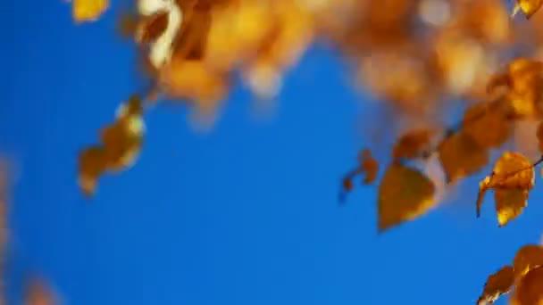 Sun shining through yellow leaves. Blue sky. Golden autumn.
