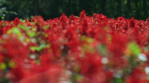 Salvia splendens. Pole červené květy. Záhonu s červenými květy