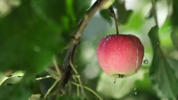 Red apple with rain drops on the tree. Slowmotion. Fruit tree.