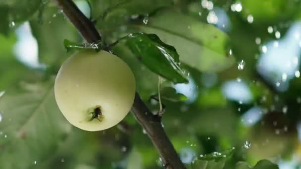 Rain drops fall on the apple and the tree leaves. Apple orchard.