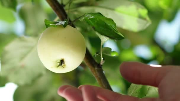 Mens hand reaches for the ripe apples on the tree and picking it.