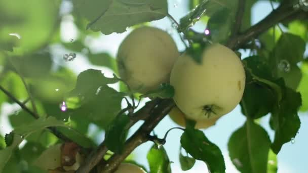 pple orchard. The fruit on the tree. Apple tree