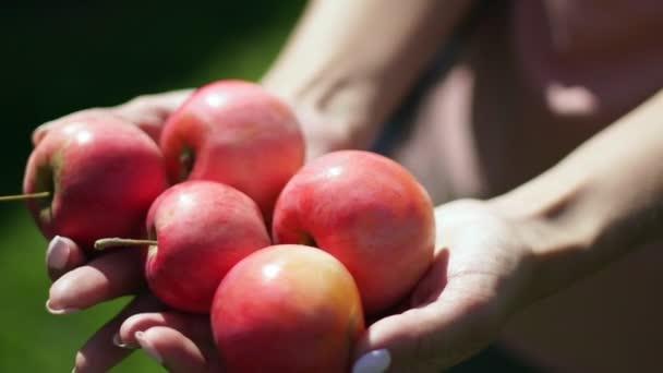 Red ripe apples in female hands. Vintage. Apple Spas