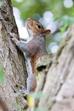 Squirrel in a pubblic england park stock vector