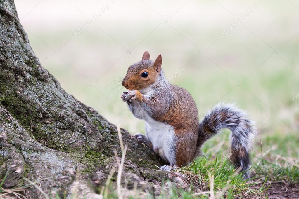 Squirrel eating.