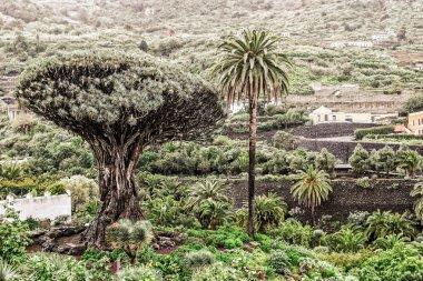 Dragon tree Dracaea draco and palm trees, Tenreife, Canaries
