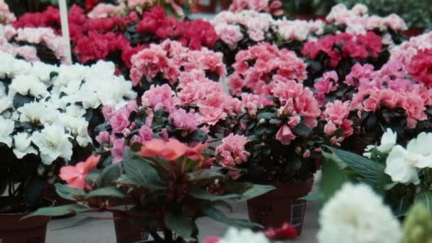 Azalea květiny ve skleníku