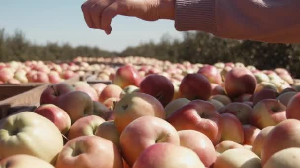 ZAPOROZHYE, UKRAINE - SEPTEMBER 10, 2015: Orchard, people harvest of apples on the Tavria Skif farm