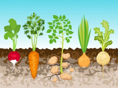 Garden with root vegetables.