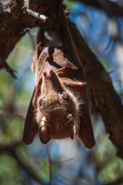 Pteropodidae Bat with fox snout hanging on a tree in a natural park