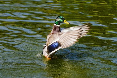 Mallard Drake Taking Flight