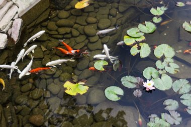 Lily, gold fish in a man made pond.