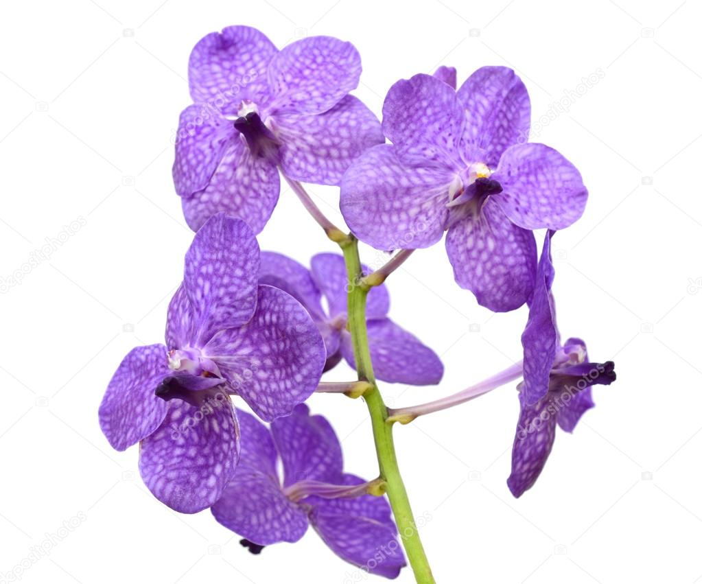 Purple orchid flowers, isolated on white background