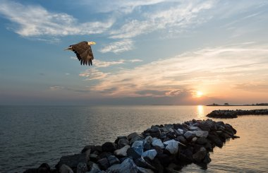Bald Eagle flying over a jetty at sunset