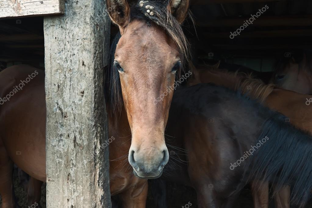 Bashkir horse