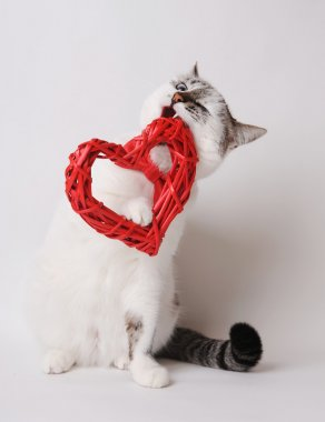 White cat in red bow tie nibbles valentine heart
