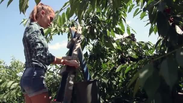 picking ripe cherry