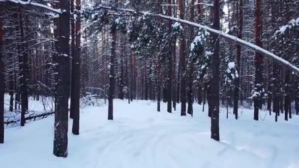 pomalý pohyb, letecký bezpilotní let pohled na zasněžený zimní borový les, jehličnaté větve stromů a kmeny pokryté sněhem, při západu slunce v parku, Samara, Rusko