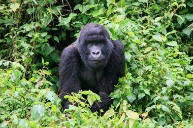 Closeup portrait of endangered Mountain Gorilla (Gorilla beringei beringei) in Volcanoes National Park Rwanda.