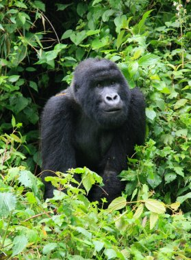Closeup portrait of endangered adult Silverback Mountain Gorilla (Gorilla beringei beringei) looking at camera in Volcanoes National Park, Rwanda.