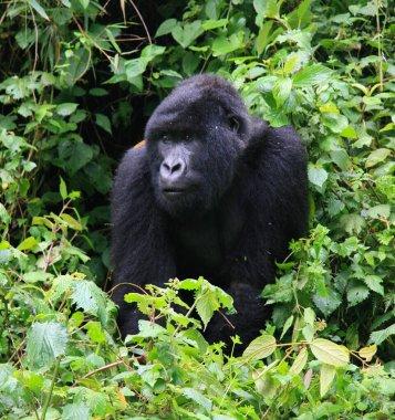 Closeup portrait of endangered adult Silverback Mountain Gorilla (Gorilla beringei beringei) resting in bamboo Volcanoes National Park, Rwanda.