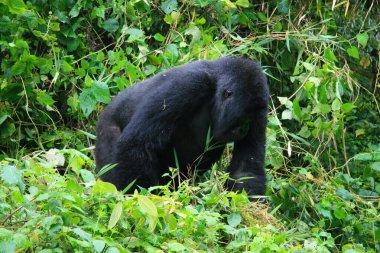 Closeup side on portrait of endangered adult Silverback Mountain Gorilla (Gorilla beringei beringei) Volcanoes National Park, Rwanda.