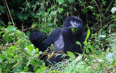 Closeup portrait of endangered adult Silverback Mountain Gorilla (Gorilla beringei beringei) eating and playing with bamboo Volcanoes National Park, Rwanda.