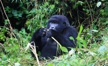 Closeup portrait of an endangered Silverback Mountain Gorilla (Gorilla beringei beringei) playing with bamboo Volcanoes National Park, Rwanda.