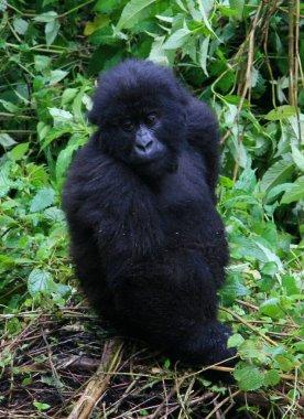 Closeup portrait of an endangered baby Mountain Gorilla (Gorilla beringei beringei) looking at camera Volcanoes National Park, Rwanda.