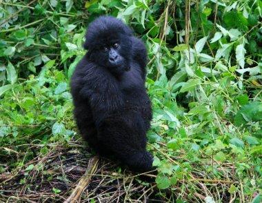 Closeup portrait of endangered baby Mountain Gorilla (Gorilla beringei beringei) looking directly at camera Volcanoes National Park, Rwanda.