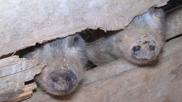 lustige Schweine auf dem Bauernhof