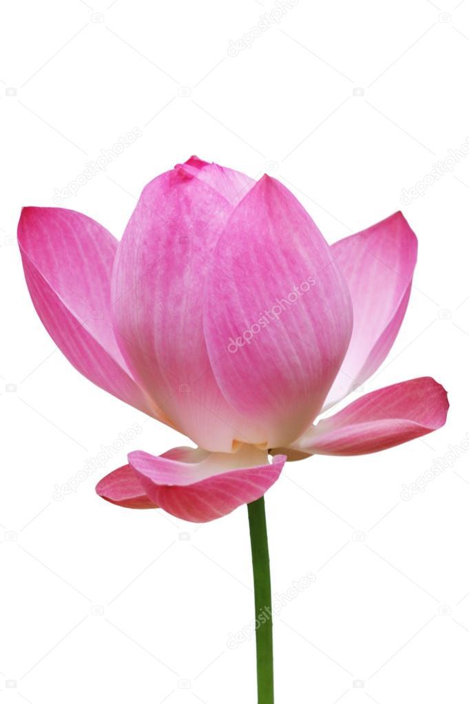 Lotus, Blume rosa Seerose (Lotus) und weißer Hintergrund ...