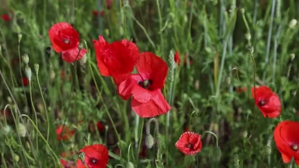 Red poppies swaying in the wind on the field