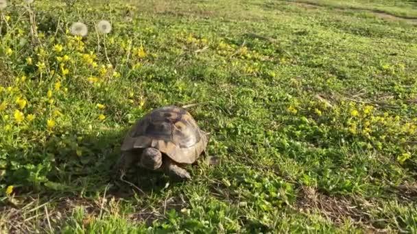 želva želva pomalu se pohybuje scénou na zelené trávě chůze pomalu při pohledu na kameru staré starověké ohrožené tropické volně žijících živočichů