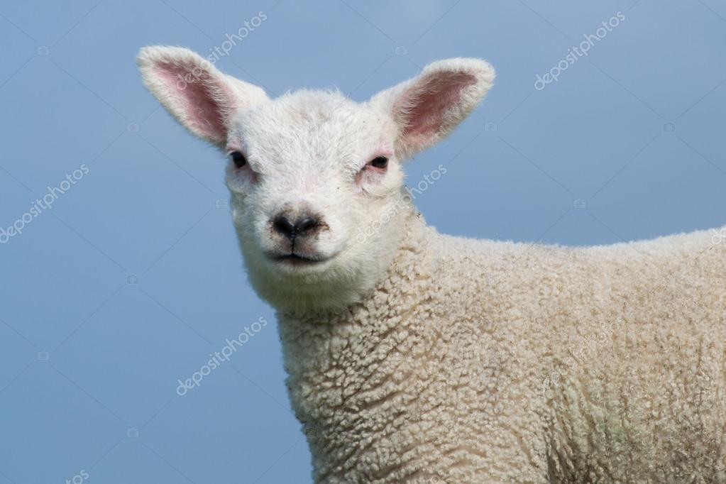 White lamb facing the camera.