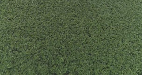 Sojabohnenplantage von oben gesehen